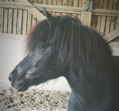 Pferd Lukka im Stall