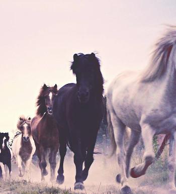 Mehrere Pferde im Galopp